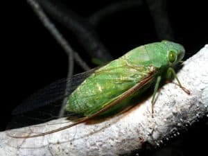 Cicada in a tree