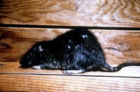 Dead Roof Rat in Las Vegas