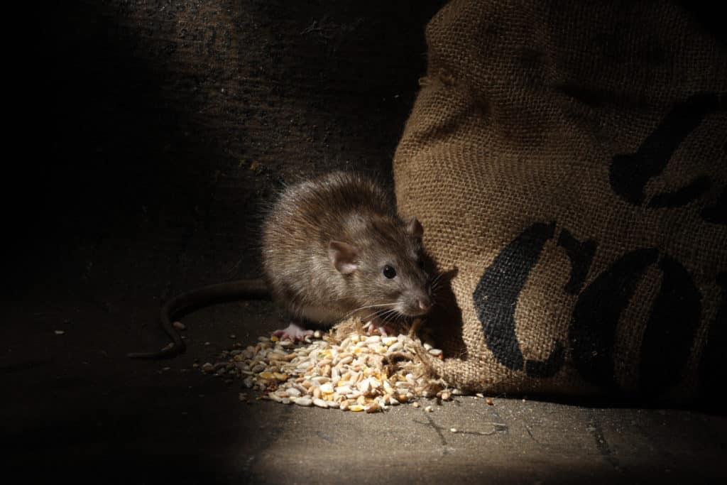 brown rat house infestation nevada