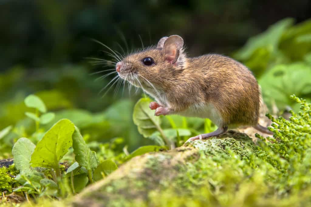mice in your home