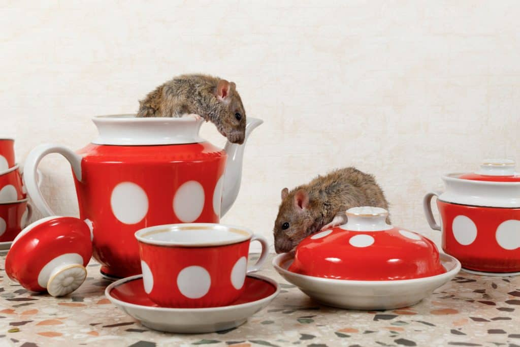How a rodent infestation can damage your home