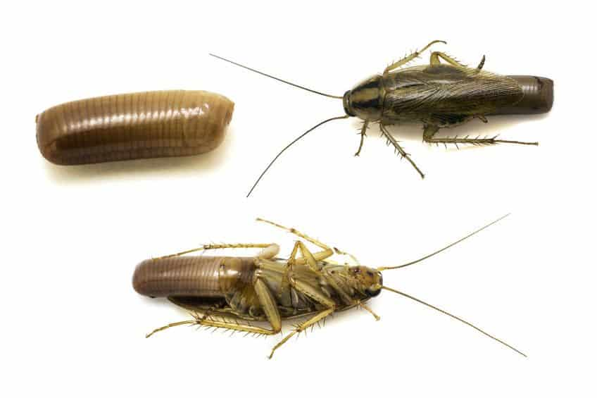 vegas cockroach removal