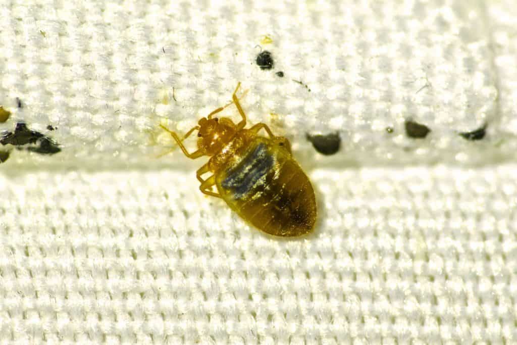 bed bugs in las vegas